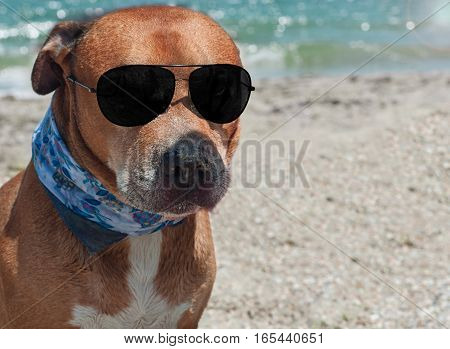 Auburn American pit bull terrier with black sunglass on the beach blurred background with the sea