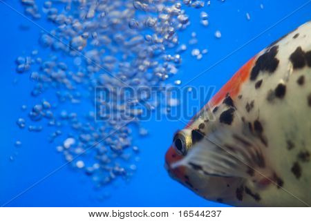 the fish with air bubbles.