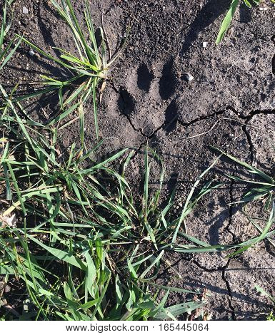 Small paw print by a grass patch in dry dirt.