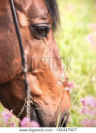 portrait of grazing bay horse. close up