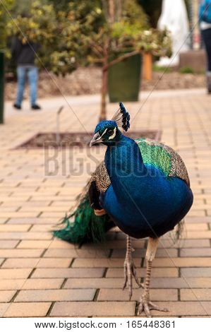 Blue and green male peacock Pavo muticus at rest in a botanical garden