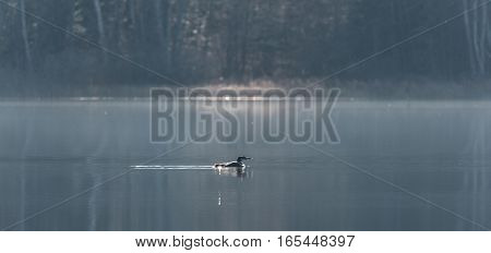 Common Loon - Gavia Immer - in winter colors, swims slowly along on a lake surface.  Subdued soft Sunshine illuminates the forest behind.