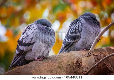 Two pigeons sitting on a branch of a tree on a cold  autumn day, hiding heads in feather to get warm