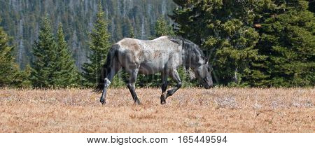 Wild Horse Blue Roan colored Band Stallion in the Pryor Mountains Wild Horse Range in Montana - Wyoming US of A