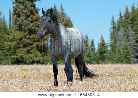 Wild Horse Blue Roan Stallion in the Pryor Mountains Wild Horse Range in Montana - Wyoming USA.