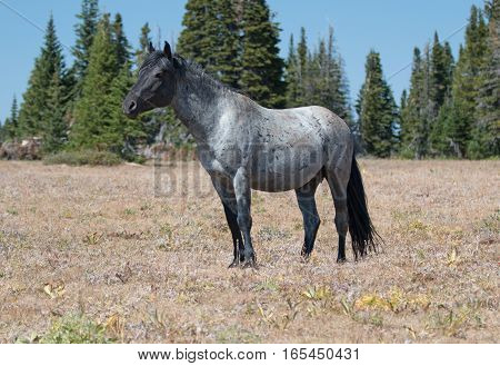 Wild Horse Blue Roan colored Band Stallion in the Pryor Mountains Wild Horse Range in Montana - Wyoming U S A