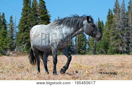 Blue Roan Band Stallion in the Pryor Mountains Wild Horse Range in Montana - Wyoming USA
