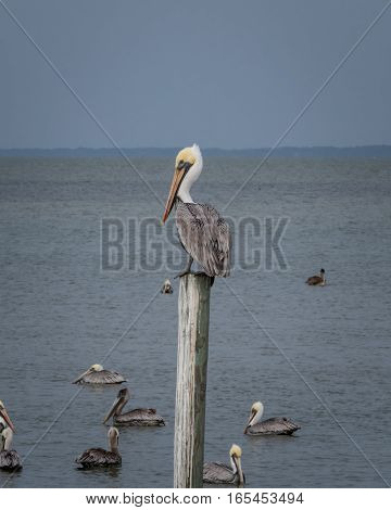 King of the Pylon: pelican sits atop lone wooden post
