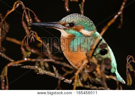 Kingfisher (Alcedo atthis) roosting in tree at night, close. Common kingfisher in the family Alcedinidae at rest on alder on river bank in rain