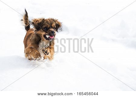 Small dog running in snow with a bone in her mouth