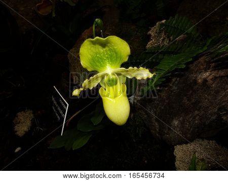 Green Ladyslipper Orchid Flower