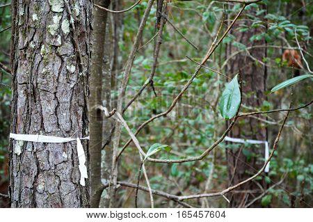 white ribbon on trees survey marked wooded lot