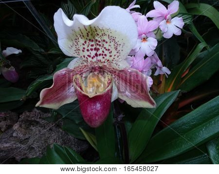Exotic Lady Slipper Orchid  (paphiopedilum Cyclops)