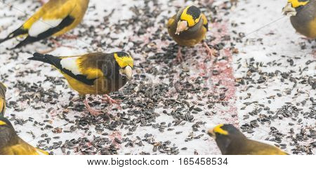 Yellow, black & white colored, Evening Grosbeaks (Coccothraustes vespertinus) on a deck having seed lunch, colourful heavyset finch adds a splash of yellow in winter snow.