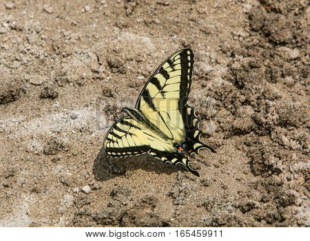 A swallowtail yellow and black butterfly on sand.