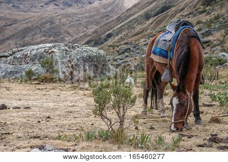 A saddled horse grazing in the mountains in Peru's region of Huaraz.