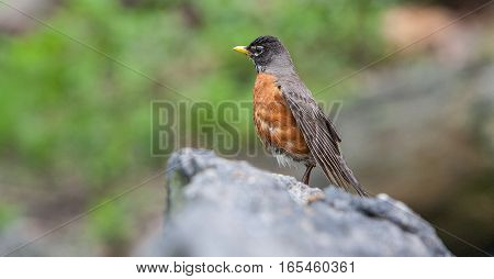 American robin perched on a rock in Central Park.