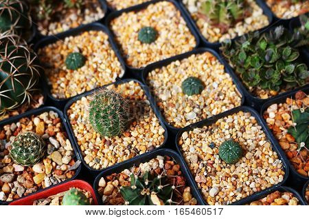 Full photo with baby cactus in square pots