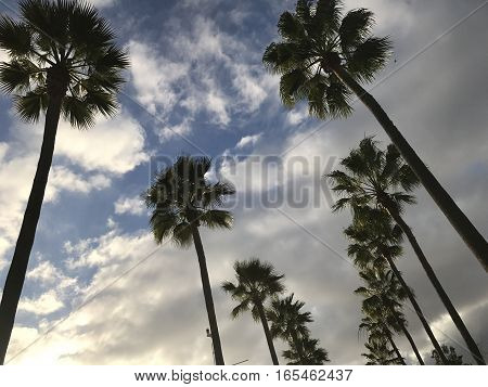 California palm trees on a blue sky with white clouds background.