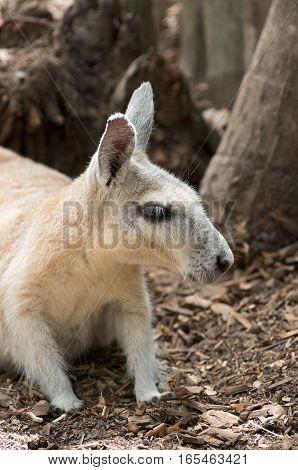 northern nail-tail wallaby or onychogalea unguifera animal profile closeup