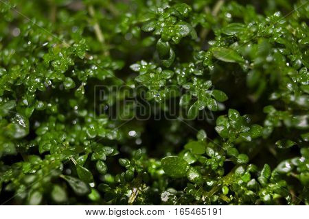 Macro of green growing plant. Small leaves of green plants.