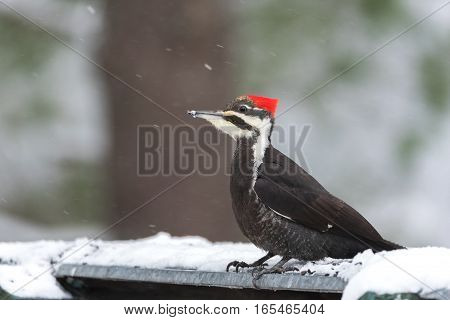 Pileated Woodpecker (Dryocopus pileatus).   Big black woodpecker with a red crown, lands on a feeding platform in a woodland snow flurry, looks about for food.