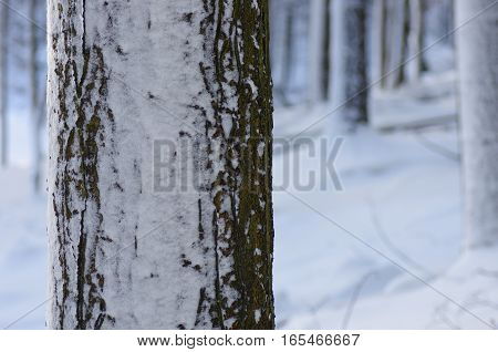 Winter nature. Winter forest landscape in early winter morning- deciduous frosty tree under winter snowfall. Winter nature view with snowy winter forest - winter landscape. Snow on tree.