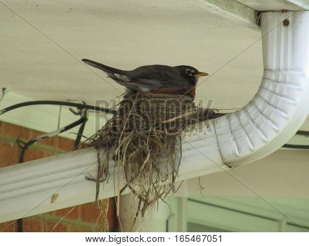 american robin perched on nest on a water spout