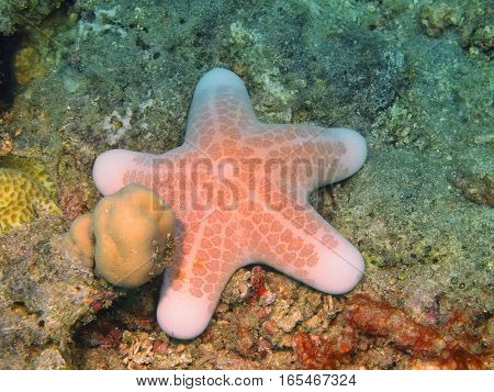 The surprising underwater world of the Bali basin, Island Bali, Lovina reef, starfish