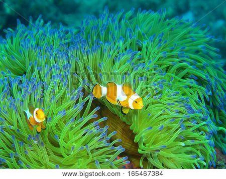 The surprising underwater world of the Bali basin, Island Bali, Lovina reef, fish-clown