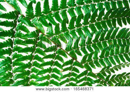 Leaf fern isolated on white background of close-up