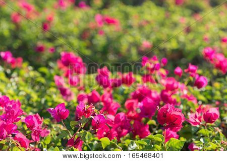 Pink bougainvillea flower with leaves beautiful in the garden background