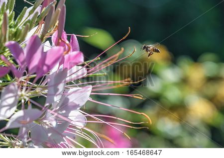 Bee is flying to the flower for collecting nectar.