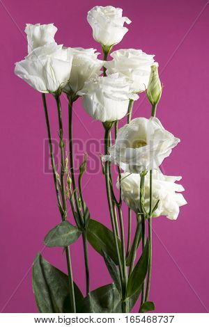 Eustoma bouquet of white on a pink background