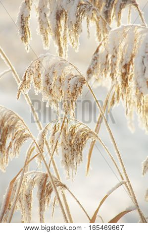 The stems of reeds covered with snow. Tinted