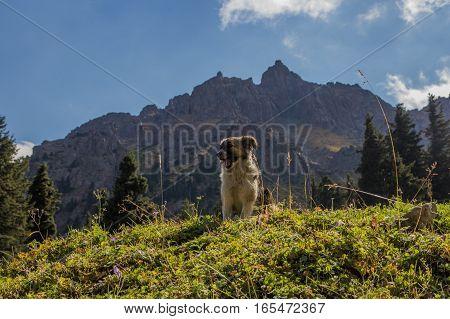 Puppy At Tuyk Su Gorge Near Shymbulak Ski Resort. Tien Shan Mountains At Summer Time, Almaty, Kazakh