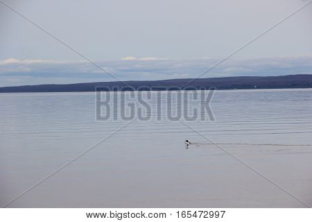 A bird swims in Lake Michigan, Michigan