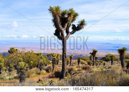 Joshua Trees surrounded by Yucca Plants and Sagebrush at the higher elevations of the Mojave Desert taken in Tehachapi Pass, CA