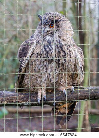 Portrait Of A Large Eurasian Eagle-owl