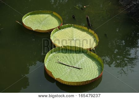 Leaf lotus in pond with sunlight in the pond