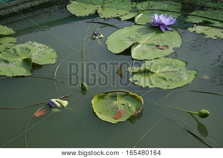 Colorful blooming purple (violet) water lily (lotus).