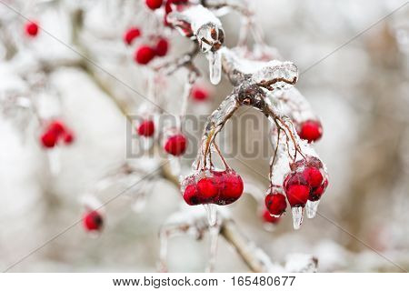 red frozen berries in the ice on a branch of tree after freezing rain