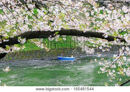 TOKYO JAPAN - Mar 31 2016: Cherry blossom at Chidorigafuchi Park Tokyo Japan. a famous Tourist spot in Tokyo Japan.