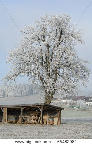 Old fruit tree and winter landscape wrapped in hoarfrost