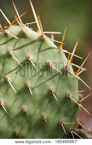 cactus in desert, cactus on rock, cactus Nature green background, domestic cactus closeup. cactus tree