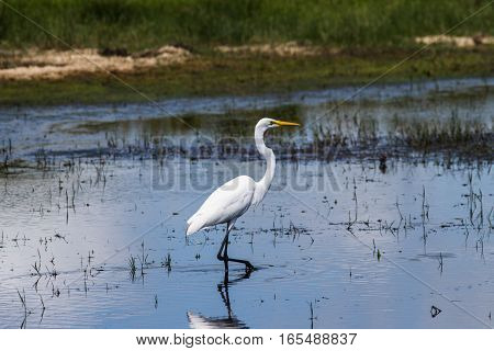 Great Egret wading in fresh water marsh in South Texas.