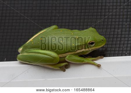 Four toed green frog hiding on a window sill.