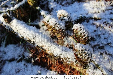 pine snowy forest, pine cones and branches, beautiful nature in winter - Denmark