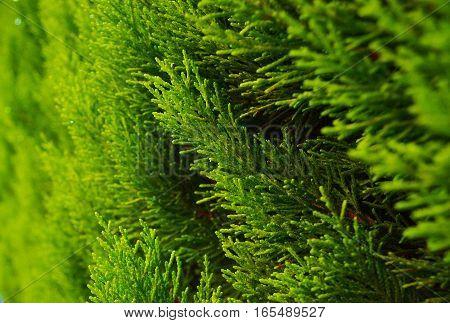 Thuja closeup. Natural green background. Summer period