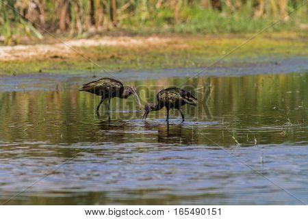 White-faced Ibis pair wading in a fresh water marsh.
